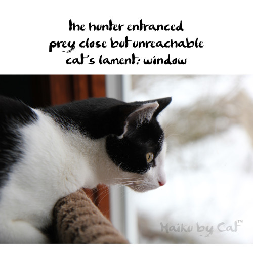 Haiku by Cat: the hunter entranced prey / close but unreachable / cat's lament: window