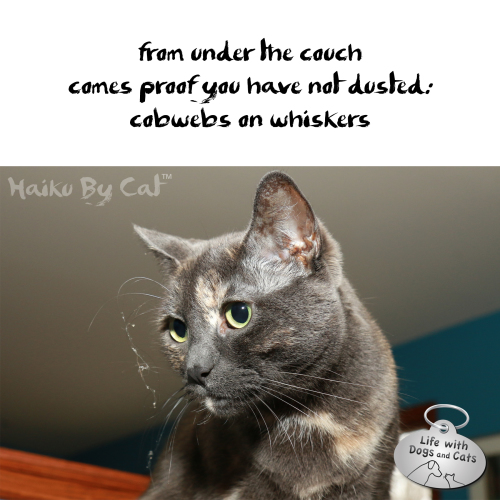Haiku by Cat: from under the couch / comes proof you have not dusted / cobwebs on whiskers