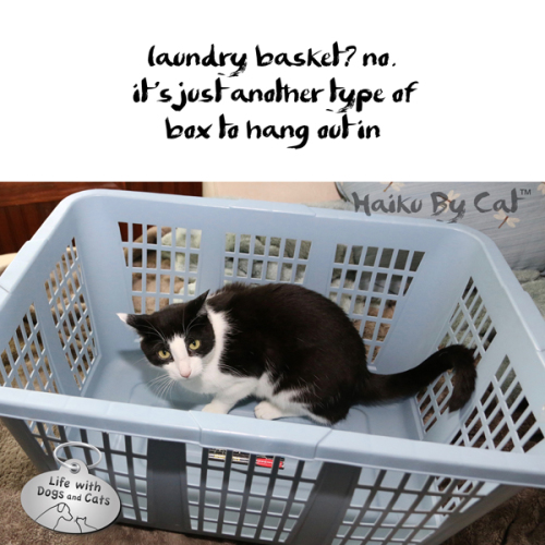 Haiku by Cat: laundry basket? no. / It's just another type of / box to hang out in