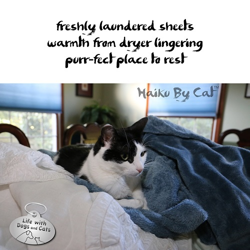 Haiku by Cat: freshly laundered sheets / warmth from dryer lingering / purr-fect place to rest
