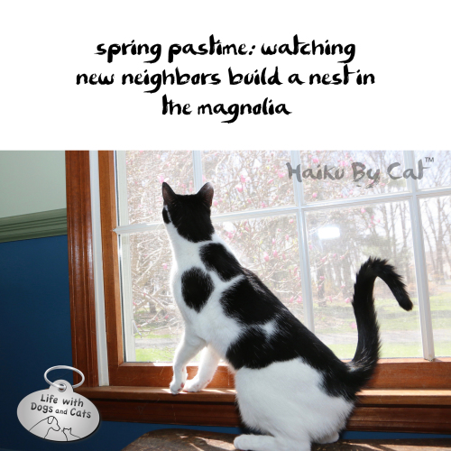 Haiku by Cat: spring pastime: watching / new neighbors build a nest in / the magnolia