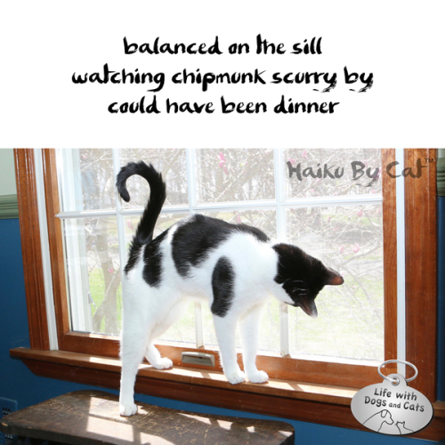 #HaikuByCat balanced on the sill / watching chipmunk scurry by / could have been dinner